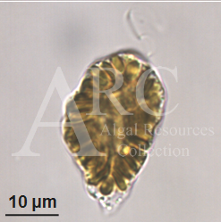 Raphidophytes