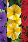/Images/johnsonnursery/Products/Annuals/2015_Bold___Beautiful.jpg