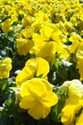 /Images/johnsonnursery/Products/Annuals/P__Pure_Yellow_11-10-10_028_for_web.JPG