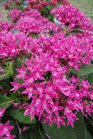 /Images/johnsonnursery/Products/Annuals/Pentas_Starcluster_Rose.jpg