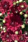 /Images/johnsonnursery/Products/NewFolder/Chrysanthemum_Savona_for_web_100111.jpg