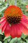 /Images/johnsonnursery/Products/Perennials/Echinacea_Sombrero_Hot_Coral_2071413_for_web.jpg