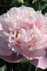 /Images/johnsonnursery/Products/Perennials/Peony_Lady_Alexandra_Duff.jpg