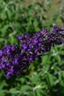 /Images/johnsonnursery/Products/Woodies/BDD_Groovy_Grape_-_1st_Editions_2.jpg