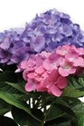 /Images/johnsonnursery/Products/Woodies/HDNLAD_-_Ballornamentals.jpg