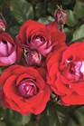 /Images/johnsonnursery/Products/Woodies/ROS_Take_it_Easy_-_Weeks_Roses.jpg
