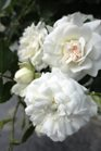 /Images/johnsonnursery/Products/Woodies/Rosa_Icy_Drift_for_web.jpg
