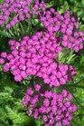 /Images/johnsonnursery/product-images/Achillea Pink Grapefruit041012_0bxe2tj13.jpg
