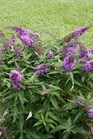 /Images/johnsonnursery/product-images/Buddleia Pugster Periwinkle 2_990kq0ptw.jpg