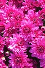 /Images/johnsonnursery/product-images/Chrysanthemum Coparo3101503_xlord78w6.jpg