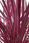 /Images/johnsonnursery/product-images/Cordyline Pink Passion_vxanplomt.jpg