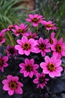 /Images/johnsonnursery/product-images/Dahlia Happy Days Purple_1hrva2jwl.jpg