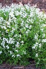 /Images/johnsonnursery/product-images/Deutzia Nikko041403_t7bhavrke.jpg