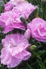 /Images/johnsonnursery/product-images/Dianthus Constant Beauty Pink_7kot26ds4.jpg