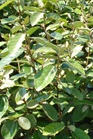 /Images/johnsonnursery/product-images/Elaeagnus  Glyn St Mary_7l7rkhd0n.jpg