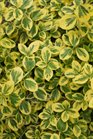 /Images/johnsonnursery/product-images/Euonymus Gold Splash_idpfgtq3w.jpg
