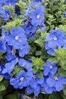 /Images/johnsonnursery/product-images/Evolvulus Blue My Mind3061113_zu0nnfkno.jpg