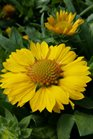/Images/johnsonnursery/product-images/Gaillardia Sunrita Golden Yellow2032417_9542vuw4e.jpg