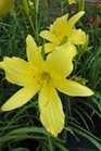 /Images/johnsonnursery/product-images/Hemerocallis Hyperion061013_mogzplf0n.jpg
