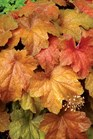 /Images/johnsonnursery/product-images/Heuchera Southern Comfort_hsv5vvdun.jpg
