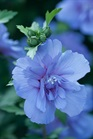 /Images/johnsonnursery/product-images/Hibiscus Blue Chiffon_e1so7ptza.jpg