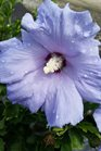 /Images/johnsonnursery/product-images/Hibiscus Hawaii062716_mufgt3qk0.jpg