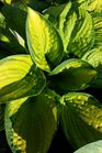 /Images/johnsonnursery/product-images/Hosta Brother Stefan042717_n7h75fx1s.jpg