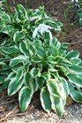 /Images/johnsonnursery/product-images/Hosta So Sweet080107_3mh8qh675.jpg