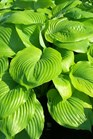 /Images/johnsonnursery/product-images/Hosta Sum and Substance2041403_pakin9tbt.jpg