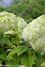 /Images/johnsonnursery/product-images/Hydrangea Gatsby Moon_o1ise5r29.jpg