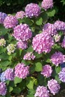 /Images/johnsonnursery/product-images/Hydrangea Lets Dance Moonlight060211_vjc1g0hgh.jpg