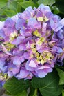 /Images/johnsonnursery/product-images/Hydrangea Lets Dance Rythmic Blues3050216_njxidle3k.jpg
