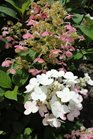 /Images/johnsonnursery/product-images/Hydrangea Quckfire3062413_3sg8g57if.jpg