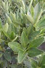 /Images/johnsonnursery/product-images/Illicium_parvifolium3030713_wbg06au0j.jpg