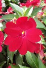 /Images/johnsonnursery/product-images/Impatien Sunpatien Compact Red2071413_lrj8bds0s.jpg