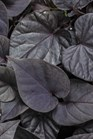 /Images/johnsonnursery/product-images/Ipomoea Sweet Caroline Jet Black_ec4m9ulwi.jpg