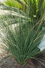 /Images/johnsonnursery/product-images/Juncus Blue Mohawk032916_j3v2dhj6g.jpg