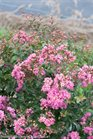/Images/johnsonnursery/product-images/Lagerstroemia Inifinitini Brite Pink 2_v9tmud4o9.jpg