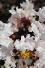/Images/johnsonnursery/product-images/Lagerstroemia Moonlight Magic_5fxgieri4.jpg