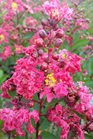 /Images/johnsonnursery/product-images/Lagerstroemia Victor080216_z87qfct31.jpg