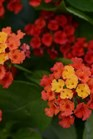 /Images/johnsonnursery/product-images/Lantana Bloomify Red_gvdtgl3o5.jpg
