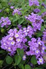 /Images/johnsonnursery/product-images/Lantana Luscious Grape2062813_hvi3fcbcj.jpg