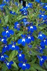 /Images/johnsonnursery/product-images/Lobelia Techno Upright Dark Blue050112_1i5tkrsl5.jpg