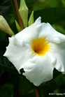 /Images/johnsonnursery/product-images/Mandevilla Brides Cascade_9jntlbb0u.jpg