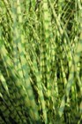 /Images/johnsonnursery/product-images/Miscanthus Gold Bar_t4nlapex3.jpg