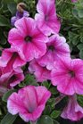 /Images/johnsonnursery/product-images/Petunia Mini Strawberry Pink Vein050213_hl0ttxlix.jpg