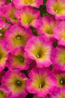 /Images/johnsonnursery/product-images/Petunia Supertunia Daybreak Charm_8jcvz3khv.jpg