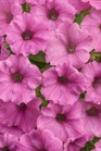 /Images/johnsonnursery/product-images/Petunia Supertunia Hot Pink Charm_7l8ngoibw.jpg