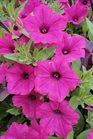 /Images/johnsonnursery/product-images/Petunia Vista Fuschia061412_31e9a4khg.jpg
