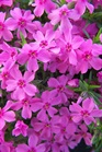 /Images/johnsonnursery/product-images/Phlox Crimson Beauty2040207_736zzafrj.jpg